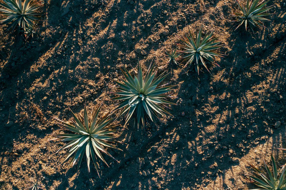 El tequila mexicano, amenazado: Australia produce bebidas de agave y quiere exportar a Estados Unidos