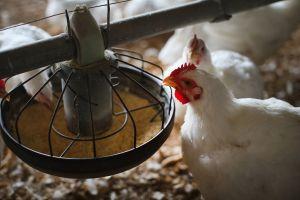 El precio del pollo se dispara y los restaurantes se enfrentan a una escasez del producto en todo el país