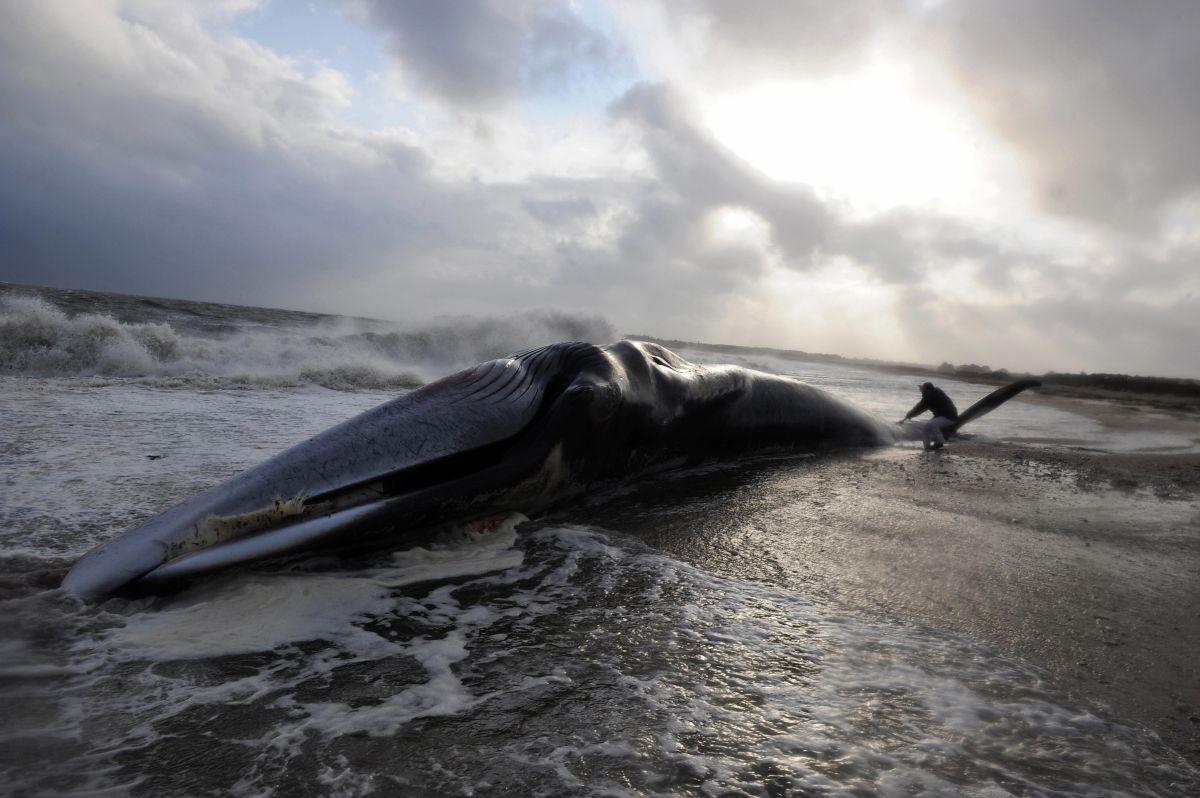 El peso de la ballena muerta equivale al de casi 800 personas.