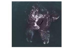 VIDEO: Dos ballenas en peligro de extinción se abrazan en pleno mar de Estados Unidos