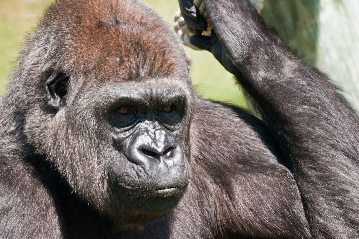 El tierno momento protagonizado por una gorila y un bebé en zoo de Boston
