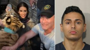 Al fin recuperaron al tigre suelto de un hispano sospechoso de homicidio