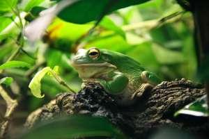 Sorprende rana por tener el tamaño de un bebé