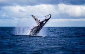 Ballenas Jorobadas: La naturaleza nos conecta
