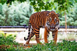 Sorprende Tigre paseándose por vecindario de Houston