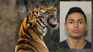 El hispano arrestado por el tigre suelto en Houston no tiene idea del paradero del felino