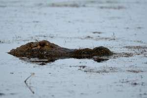 Graban ataque mortal de cocodrilo a mujer que lavaba ropa en laguna de México