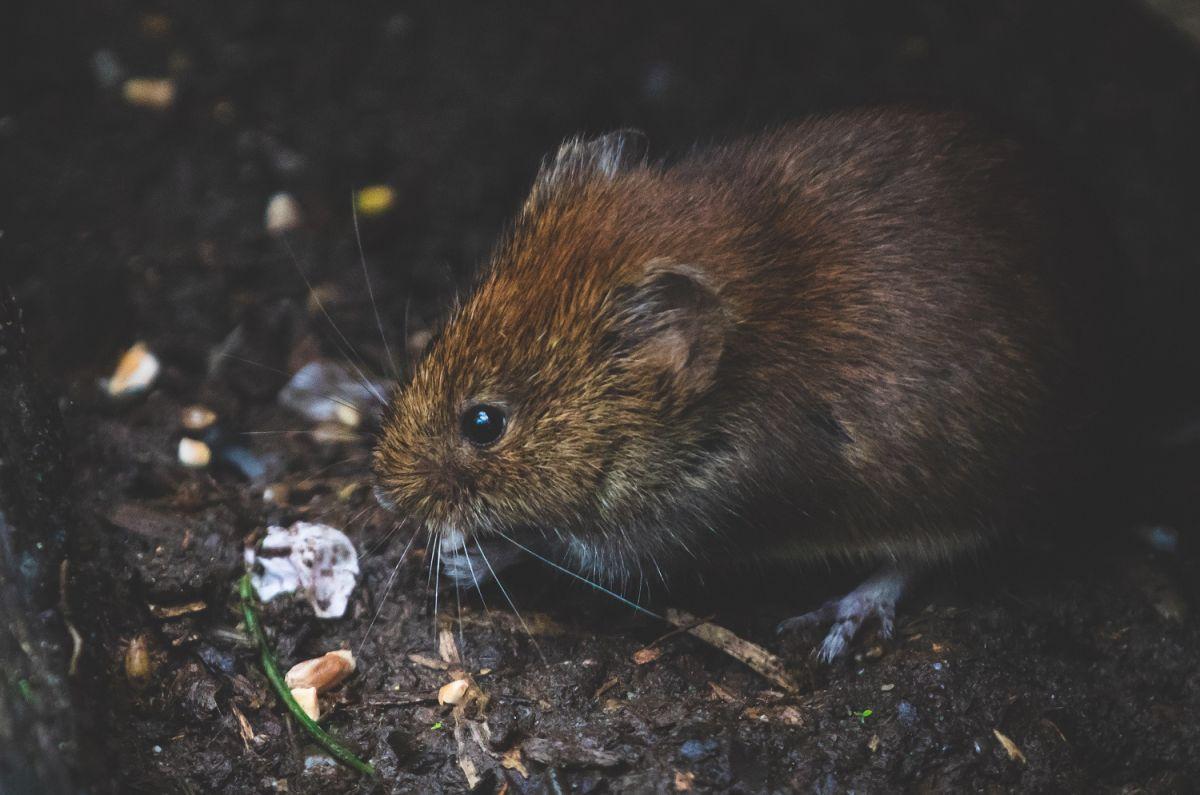 Una mujer se contagió de hantavirus en Michigan: 6 cosas que debes saber sobre este virus transmitido por ratas