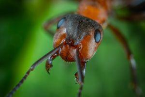 La impactante fuerza mostrada por un grupo de hormigas para cargar a lagarto muerto