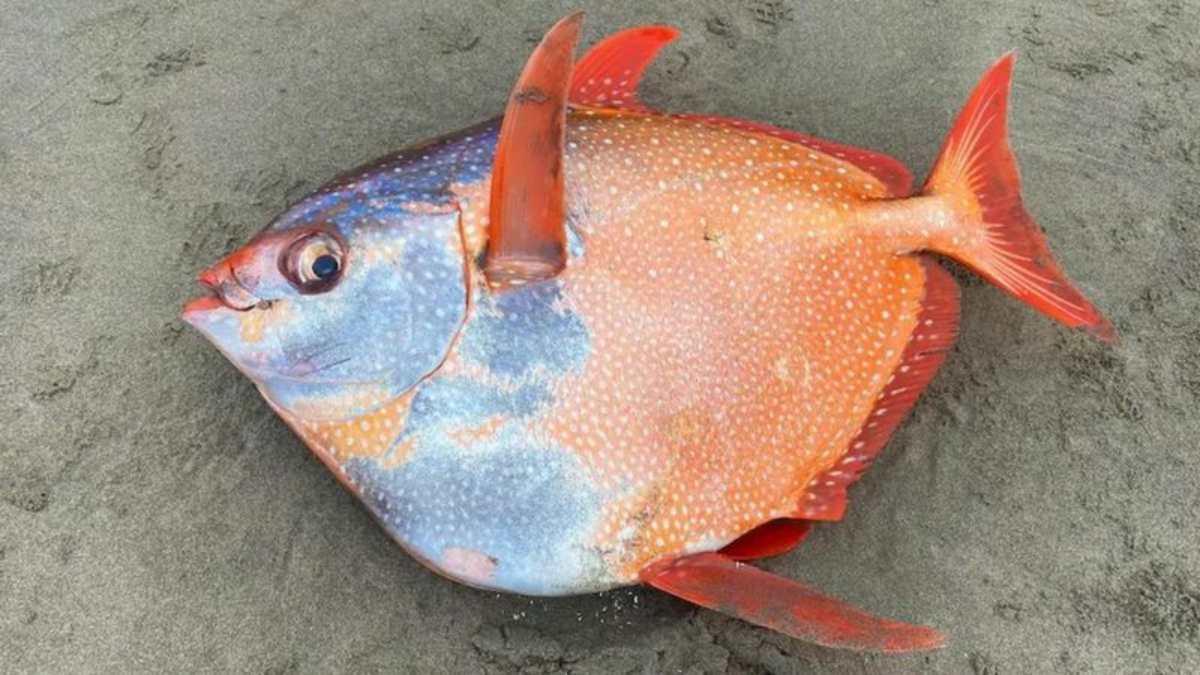 El extraño ejemplar de pez luna real que fue encontrado en playas de Oregon