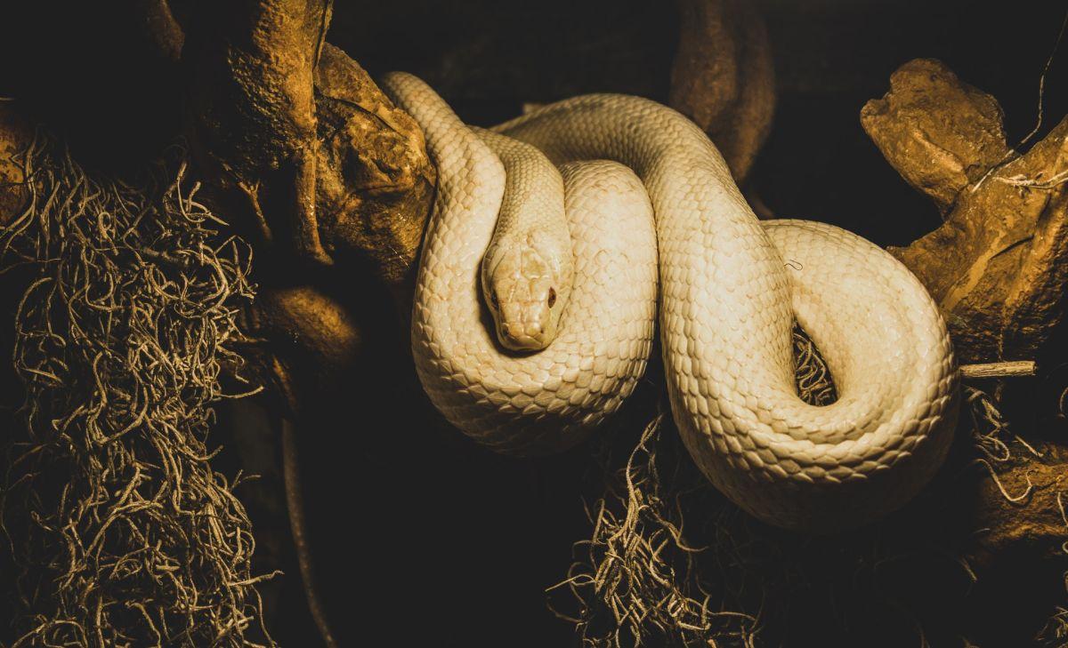 El animal es originario de América del Sur.