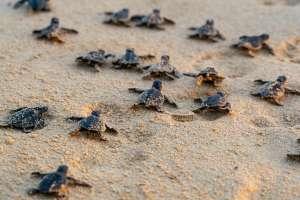 Descubren a tortuga marina de 2 cabezas en playas de Carolina del Sur