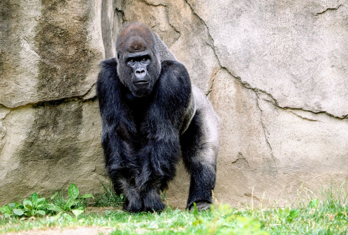 Los gorilas están siendo tratados con anticuerpos monoclonales.