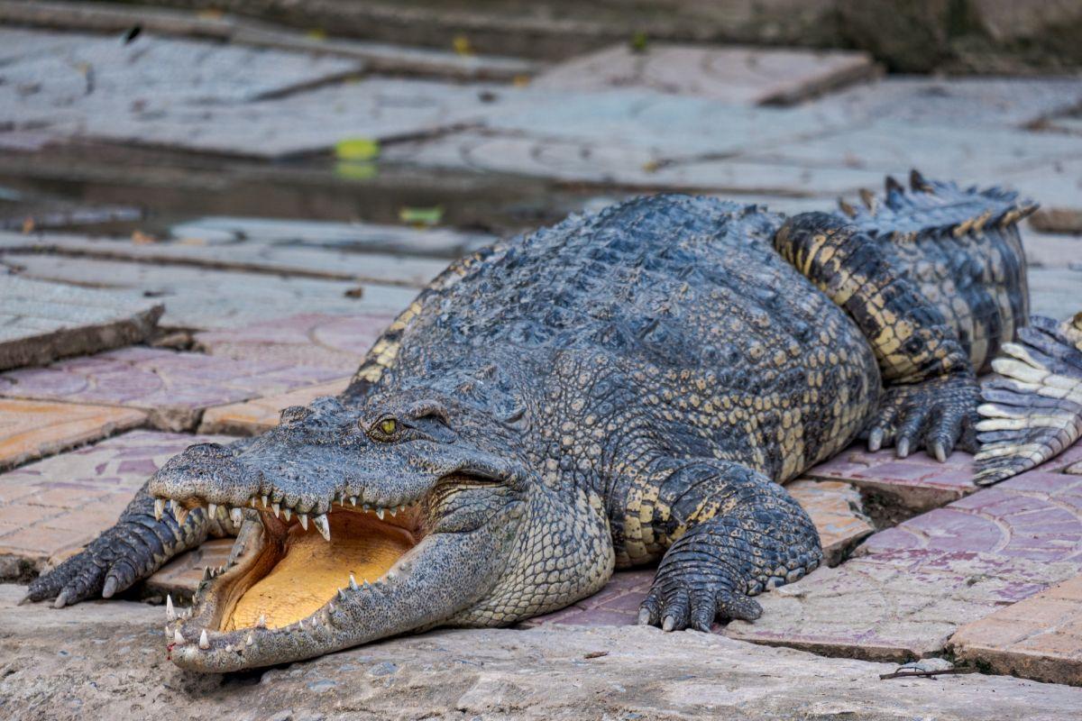 El gran caimán traía en el estómago un objeto de 1,700 años de antigüedad.