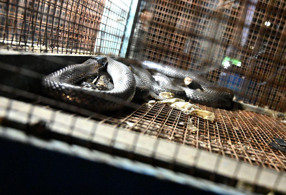 Una cobra en un mercado en Jakarta, Indonesia.